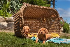 Hungarian hound puppy. Summer day dog family. Viszla Stock Photo