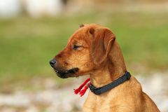 Hungarian hunting dog outdoor portrait Royalty Free Stock Images