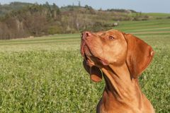 Hungarian hunting hound on a greenfield site. Spring sunny day on hunting with dogs. Viszla on a green field. Hound. Stock Photo