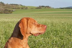Hungarian hunting hound on a greenfield site. Spring sunny day on hunting with dogs. Viszla on a green field. Hound. Hungarian hunting hound on a greenfield Royalty Free Stock Photography