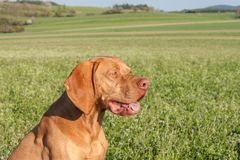 Hungarian hunting hound on a greenfield site. Spring sunny day on hunting with dogs. Viszla on a green field. Hound. Hungarian hunting hound on a greenfield Stock Image