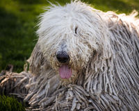 Hungarian Komondor Stock Photography