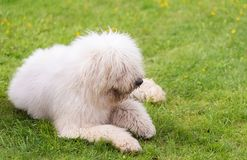 Hungarian komondor dogs in the park Stock Images