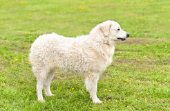 Hungarian Kuvasz dog in the park Stock Images