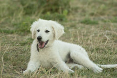 Hungarian Kuvasz puppy. Dog lying on the grass outdoors royalty free stock photography