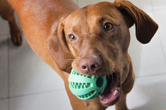 Hungarian magyar viszla holding a ball. Closeup portrait of a hungarian vizsla with a green playing ball in its mouth Royalty Free Stock Images