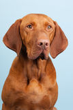 Hungarian or Magyar Vizsla. Isolated over blue background Stock Image