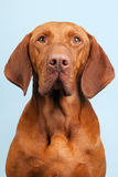 Hungarian or Magyar Vizsla. Isolated over blue background Stock Photo