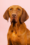 Hungarian or Magyar Vizsla. Isolated over blue background Royalty Free Stock Photo