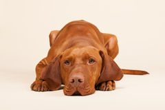 Hungarian or Magyar Vizsla. Isolated over cream background Stock Image