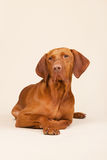 Hungarian or Magyar Vizsla Royalty Free Stock Images