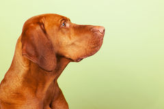 Hungarian or Magyar Vizsla. Isolated overgreen background Stock Photo