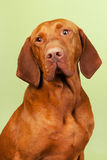 Hungarian or Magyar Vizsla Stock Photo