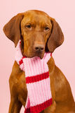 Hungarian or Magyar Vizsla in winter Stock Images