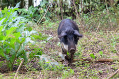 Hungarian Mangalica in the forest. Beautiful hairy Swallow-bellied Mangalica pig Sus Scrofa, a Hungarian breed of domestic pig with a thick and woolly coat, in Royalty Free Stock Images