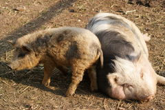Hungarian mangalitsa pig Stock Images