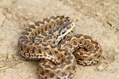 Hungarian meadow adder ready to strike Stock Photography