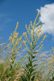 Hungarian mullein plant - verbascum speciosum Stock Photography