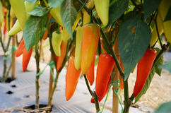 Hungarian pepper Stock Photos