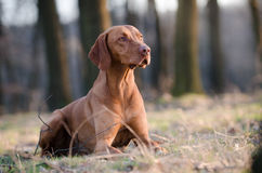 Hungarian pointer hound dog. Hungarian hound dog in forrest in spring time Royalty Free Stock Images