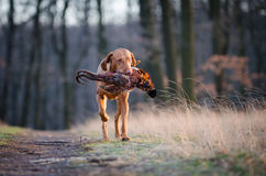 Hungarian pointer hound dog. Hungarian hound dog in forrest in spring time Stock Image