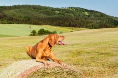 Hungarian pointer lies on a haystack. Agricultural work on pasture in the Czech Republic. Rest after work. Royalty Free Stock Photos