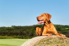 Hungarian pointer lies on a haystack. Agricultural work on pasture in the Czech Republic. Rest after work. Stock Photography