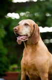 Hungarian Pointer Stock Photos