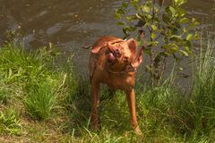 Hungarian pointer shaking off water. Dog Vizsla hunting at the pond. Stock Photo