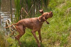 Hungarian pointer shaking off water. Dog Vizsla hunting at the pond. Royalty Free Stock Photos