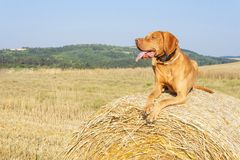 Hungarian Pointer Viszla on the harvested field on a hot summer day. Dog sitting on straw. Morning sunlight in a dry landscape Stock Photo