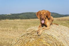 Hungarian Pointer Viszla on the harvested field on a hot summer day. Dog sitting on straw. Morning sunlight in a dry landscape Stock Image