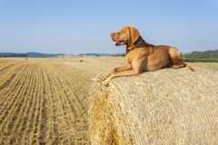 Hungarian Pointer Viszla on the harvested field on a hot summer day. Dog sitting on straw. Morning sunlight in a dry landscape Stock Photos
