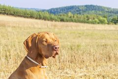 Hungarian Pointer Viszla on the harvested field on a hot summer day. Dog sitting on straw. Morning sunlight in a dry landscape Royalty Free Stock Images