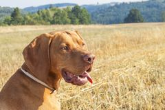 Hungarian Pointer Viszla on the harvested field on a hot summer day. Dog sitting on straw. Morning sunlight in a dry landscape Royalty Free Stock Photography