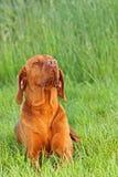 Hungarian pointer (vizsla) dog Royalty Free Stock Photos