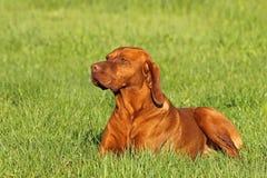 Hungarian pointer (vizsla) dog Stock Photo