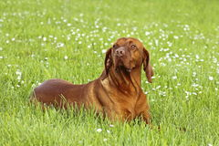 Hungarian pointer (vizsla) dog Royalty Free Stock Photos