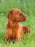 Hungarian pointer (vizsla) dog Royalty Free Stock Photography