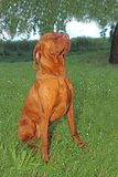 Hungarian pointer (vizsla) dog Stock Photography