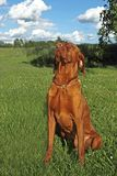 Hungarian pointer (vizsla) dog Stock Photo