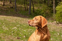 Hungarian pointer Vizsla, sniffing on hunt. Dog a loyal friend of a hunter. Detail of dog head. Stock Photos