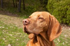 Hungarian pointer Vizsla, sniffing on hunt. Dog a loyal friend of a hunter. Detail of dog head. Royalty Free Stock Photo