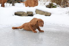 Hungarian Pointing Dog sliding in winter