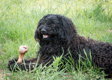 Hungarian Puli. Hungarian black Puli eating bone Royalty Free Stock Images
