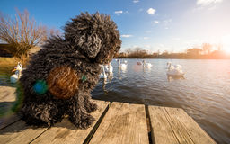 Hungarian Puli dog on dock Stock Image
