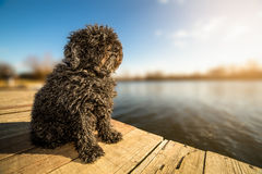 Hungarian Puli dog sitting on dock Stock Photo