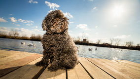 Hungarian Puli dog sitting on dock Royalty Free Stock Photos