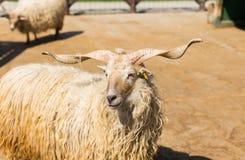 Hungarian racka sheep stock photo