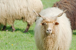 Hungarian Racka Sheep Gazing Stock Photos